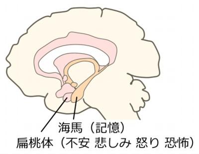 扁桃体と海馬
