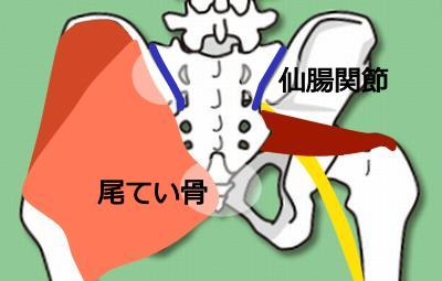 仙腸関節と梨状筋
