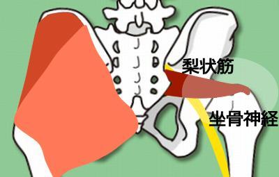 梨状筋・坐骨神経